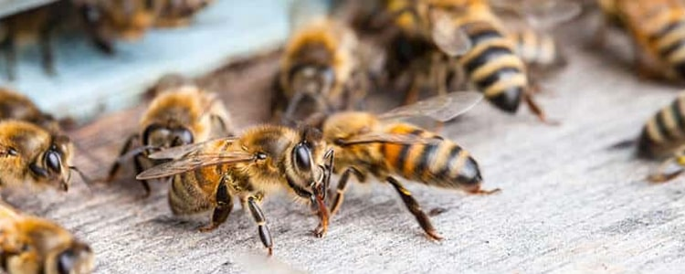 Bees And Wasp Control Hallett Cove