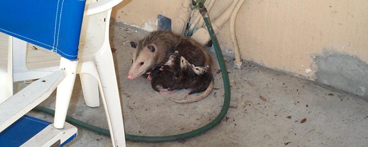 Possum Removal Hallett Cove